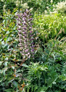 "Spiny Bear's Breech - in Latin called ""Acanthus spinosus"" in full bloom in the Niagara Park's Botanical Gardens, Canada."