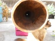 Trompeta Maya, Agave Salmiana