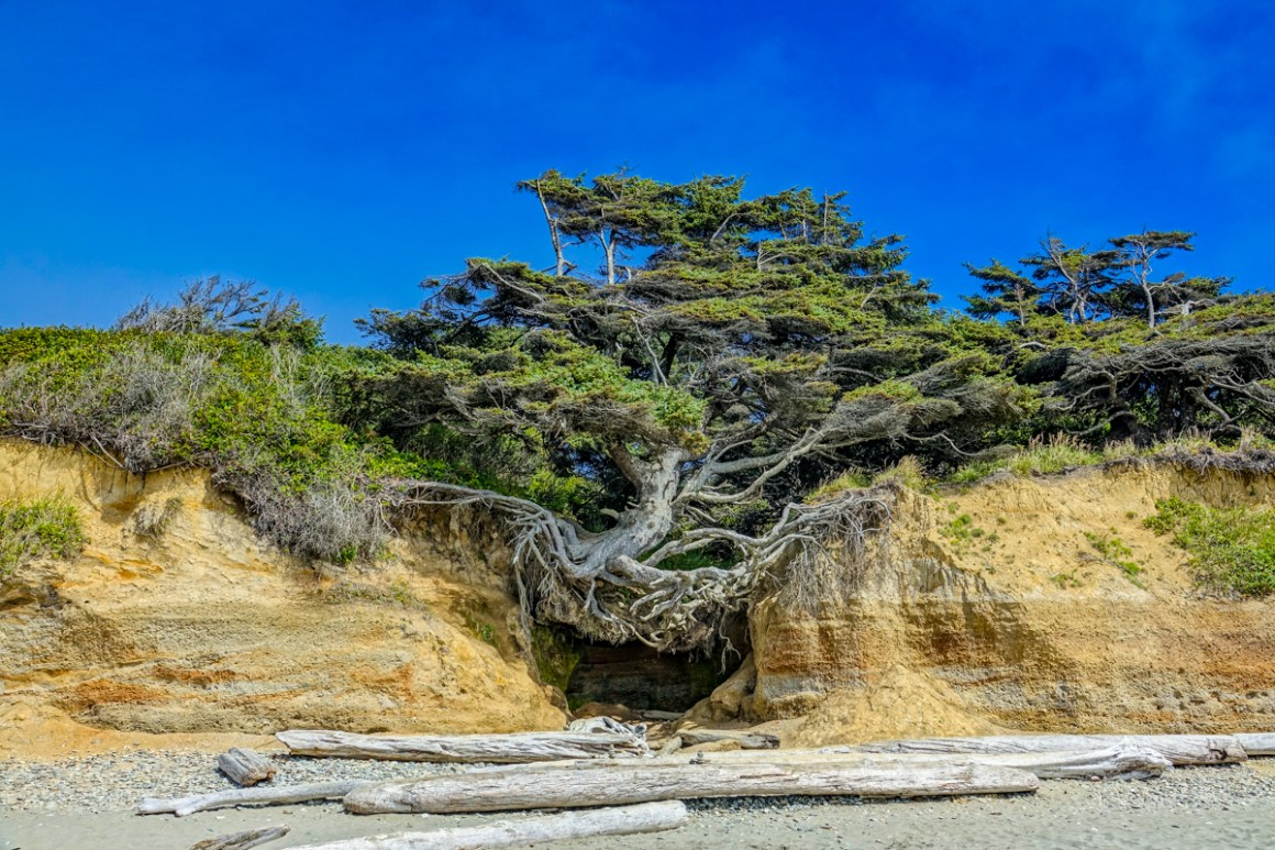The Tree of Life at Kalaloch