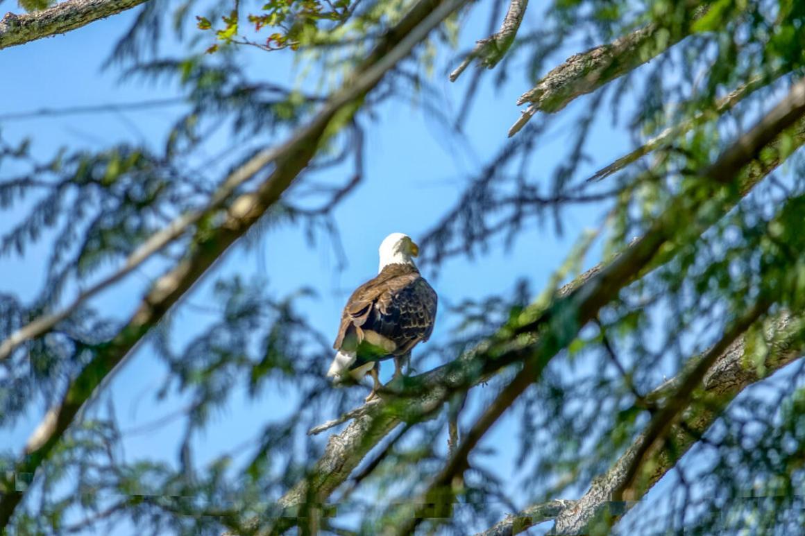 Bald Eagle at Seal Rock Campground