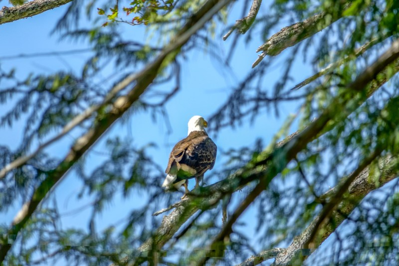 Bald Eagle at Seal Rock Campground