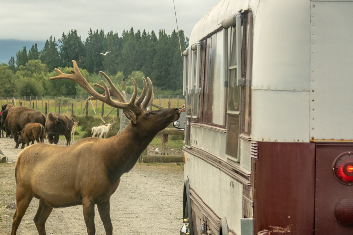 Feeding the Elk form the bus