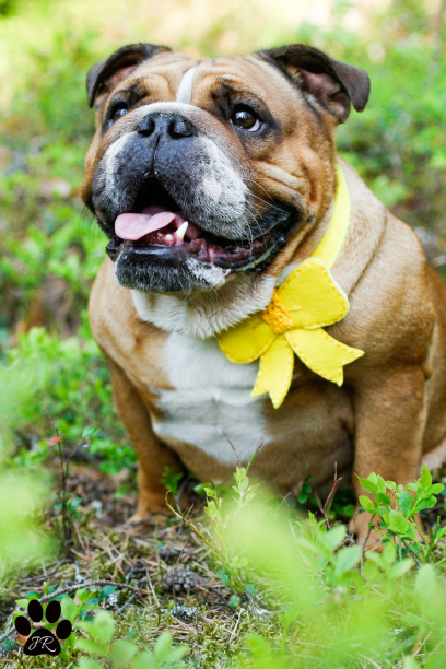 Small Yellow Dog Bow