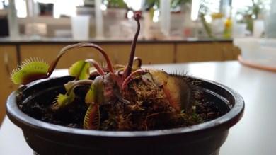 "Venus flytrap ""Red Dragon"" flower stalk"