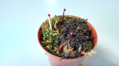 Flower stalk cut and inserted into the pot containing remnants of D. aliciae - dry leaves in the middle.