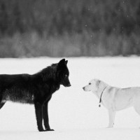 The Wild Wolf Who Played With Dogs