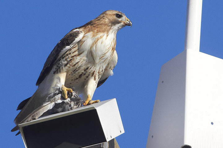 Spying On The World's Most Famous Hawk: Pale Male