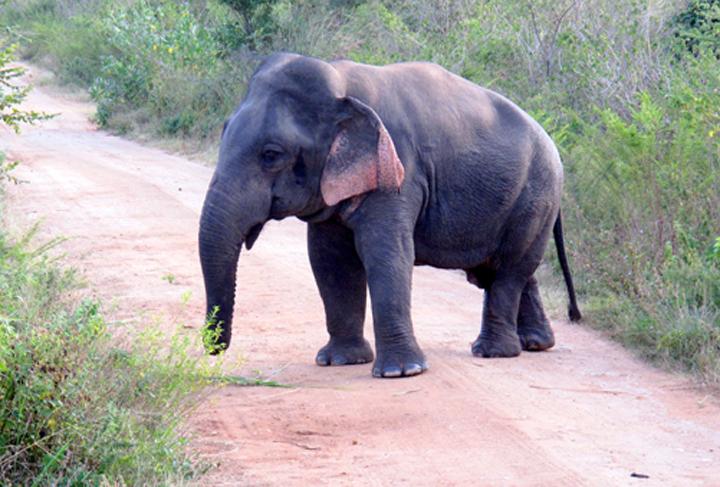 A Dwarf Elephant With Outsized Attitude