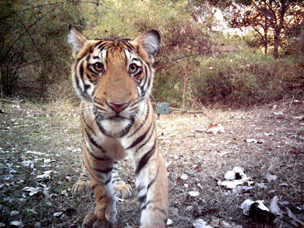 Young tiger-Ullas-WCS-camera trap