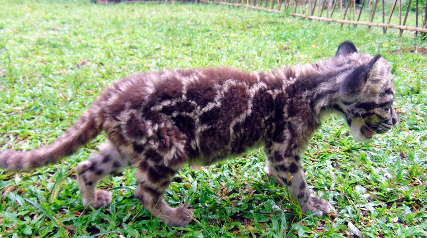 For Rescued Baby Clouded Leopard, It's Nursery Then Jungle Camp