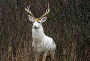 Seneca White Deer Inc.-white buck