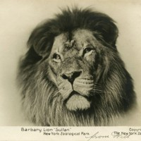 Sultan-Barbary lion-WCS Archives c-1906