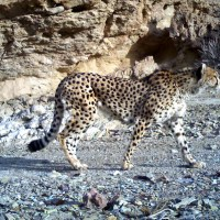 Saving The Desert Cheetahs Of Iran