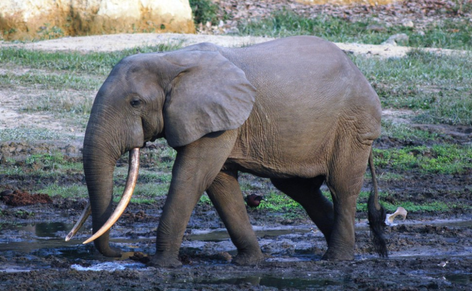 Missing For 9 Years, Ahmed The Elephant Returns