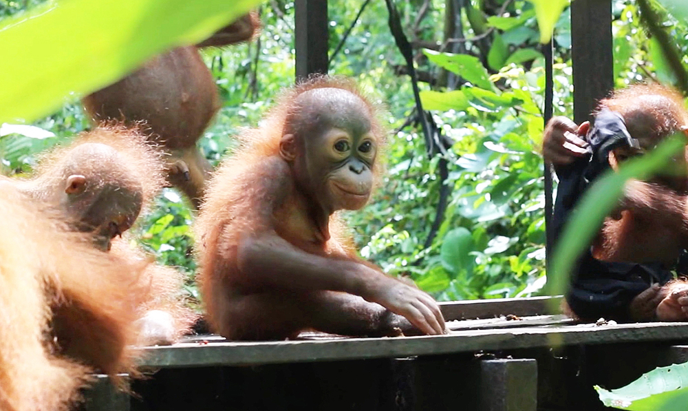 Didik's Journey To Orangutan Baby School