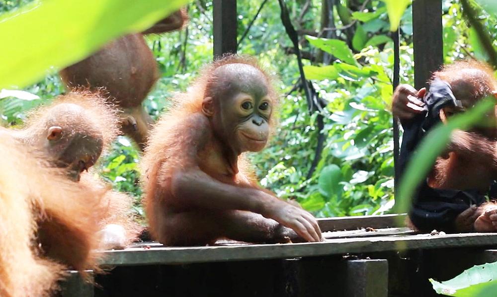 Didik's Journey To Orangutan Baby School
