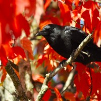 Observing Crow 'Funerals' … And Plenty Of Lively Crow Life