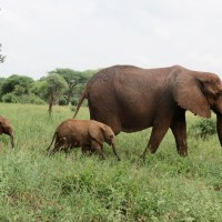 Big, Beautiful, And Rare: Twin Elephants In Tanzania