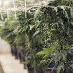 Intentional and Unintentional Marijuana Exposure Among Children