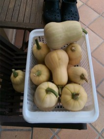 Harvest: Butternut Pumpkins
