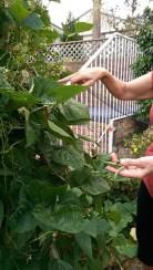 In the Garden: Harvestable Beans