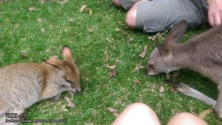 Hartley's Crocodile Adventures, June 2015: Kangaroo