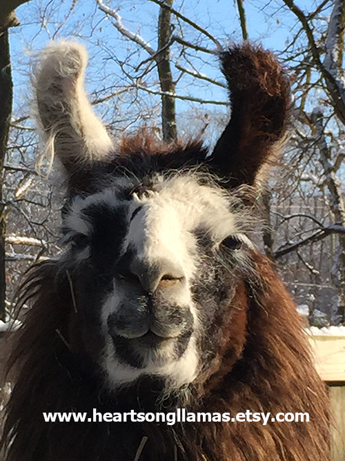 Photo of Gisele the llama and our Etsy shop URL