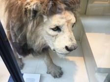 Roaaaar! It's a lion!