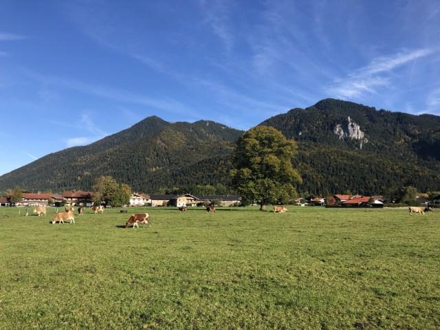 Kühe weiden in Scharling, Kreuth mit Blick auf den Wallberg