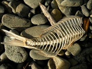 Fish Skeleton