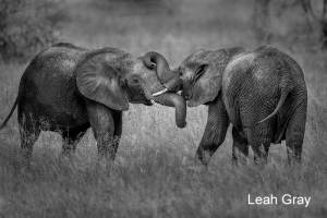 Elephant Tussle by Leah Gray