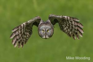 Great Gray Owl by Mike Wooding