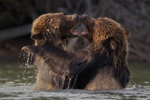 Grizzly Cubs Playfighting by Steve Smith