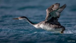 Western Grebe Flight by Leah Gray