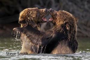 Grizzly Cubs Play Fighting by Steve Smith