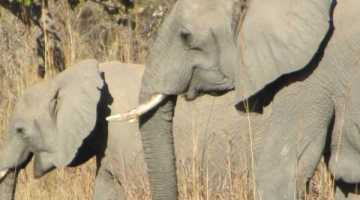 Wild Elephants in Kafue National Park