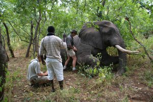 Vets and the team from Baines River Camp assist in darting an elephant in order to help a young calf in the herd who was snared by poachers.