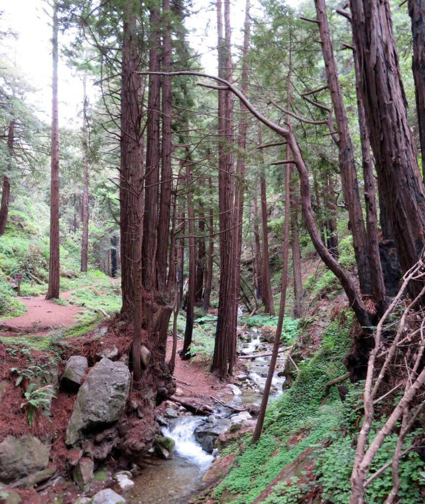 Redwood trees and a stream.