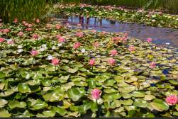 depositphotos_157239694-stock-photo-water-lilies-on-pond