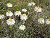 Leucochrysum albicans var. tricolor