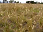 Victorian Volcanic Plains grassland on a roadside