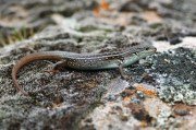 White's Skink