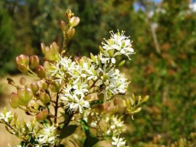 Bursaria flowers