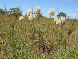 Featherheads near Woorndoo