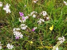 Milkmaids, Chocolate Lilies and Bulbine Lilies