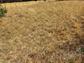 themeda grassland