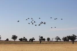 Brolgas taking flight