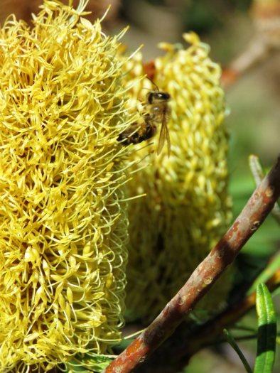 a bee enjoying a banksia flower