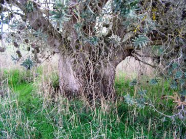 Banksias develop large trunks
