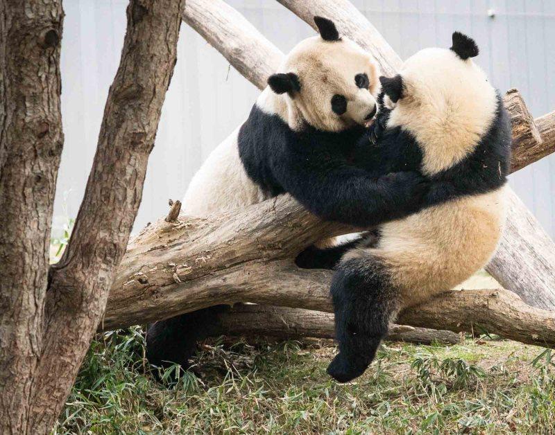 Bei Bei and Mei Xiang